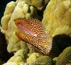 Spotted Eel in Kona Hawaii Canon G-9 by Scott Johnson