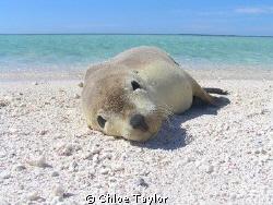 How Cute ;) Abrolhos Islands by Chloe Taylor