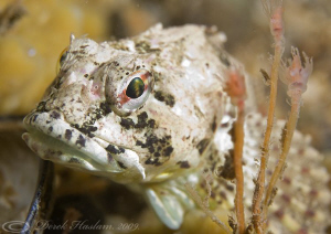 Long spined scorpion fish. Menai straits. D3, 105mm. by Derek Haslam