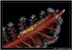 Sea pen with goby I really love those guys    fuji S5 pro... by Yves Antoniazzo