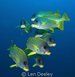 Shoal of sweetlips by Len Deeley