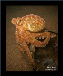 The Philippine Vein/Margin Octopus by Jun Lao