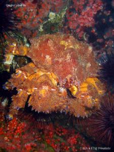 Puget sound king crab, an underwater mini army tank. Quad... by Bea & Stef Primatesta