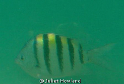 This fish is known as the Sargeant Major (Abudufduf Sarat... by Juliet Howland