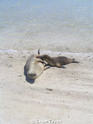 Tiny pup suckling from his mum, so adorable. Abrolhos Isl... by Chloe Taylor