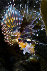 Balinese Lionfish in Amed by Soren Egeberg