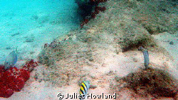 This photo is of a sargeant major fish (the one with the ... by Juliet Howland