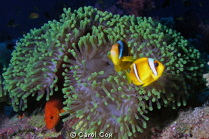 anemone, clownfish, coral hind, red sea by Carol Cox