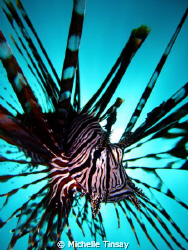 common lion fish by Michelle Tinsay