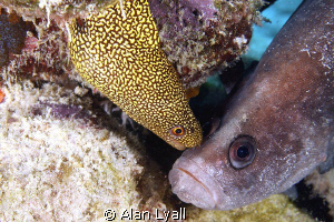 The kiss - a peck on the cheek for the great soapfish fro... by Alan Lyall
