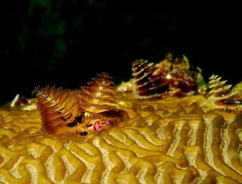 Xmas Tree Worm - Shot at Roatan with a Reefmaster 300 Dig... by John C Jeppson