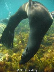 California Sea Lion, Isla Guadalupe, Mexico Not cropped by Scott Rettig
