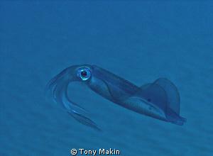 Squid by Tony Makin