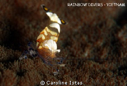 Commensal Shrimp on Anemone by Caroline Istas