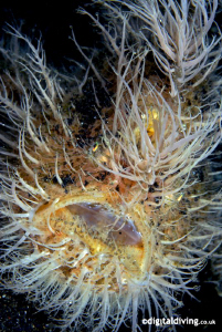 """""""Hairy Scary"""" - Hairy Frogfish in Lembeh by David Henshaw"""