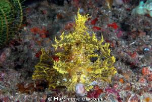 Rhinopia yellow merlet Nikon D22,60 micro,twin strobo K... by Marchione Giacomo