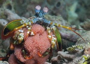 Peacock Mantis shrimp with eggs. Lembeh straits. D200, 60mm. by Derek Haslam
