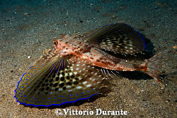Flying gurnard by Vittorio Durante