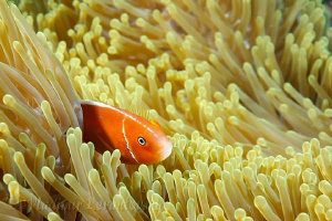 "Pink (skunk) anemone fish playing ""hide and seek"". Canon ... by Vladimir Levantovsky"