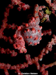 Very pregnant (male) Pigmy Seahorse. Found on Cannibal Ro... by Christian Nielsen