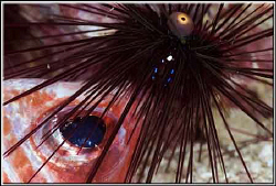 Dead squirrelfish being eaten by a sea urchin by Erika Antoniazzo