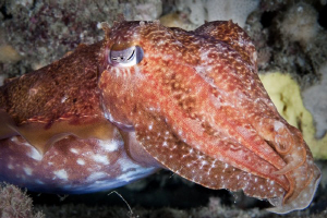 Cuttlefish off Rottnest Island.  Canon 20D 60mm Macro. by Mick Tait