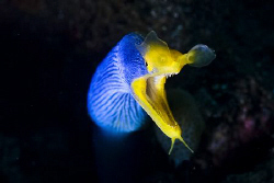 Blue Ribboneel posing in Amed, Bali by Soren Egeberg