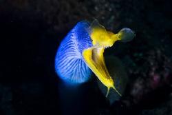 Blue Ribboneel posing in Amed, Bali by Soren Egeberg
