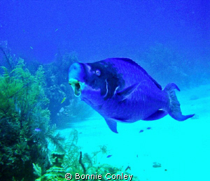 Parrotfish seen in Freeport Bahamas May 2009.  Photo take... by Bonnie Conley