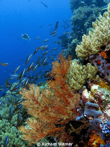 Sea Fan and Rainbow Runners at Komodo. G9/DS160s/Olympus ... by Richard Witmer