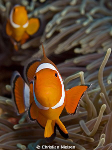 Got one shot at these Anemone fish in Gamat Bay, Nusa Pen... by Christian Nielsen