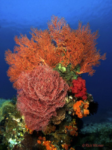 Underwater Bouquet at Komodo.  These sea fans were about ... by Richard Witmer