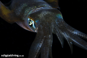 Big Fin Reef Squid by David Henshaw