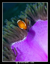 Nemo...............and sea anemone................. by Vincent Toh