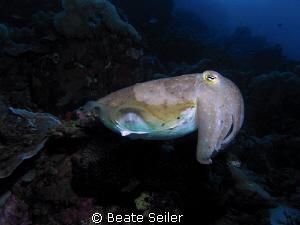 Cuttlefish on the Hausereef of Wakatobi , taken with  Ca... by Beate Seiler