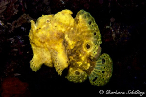 Swimming Frogfish by Barbara Schilling