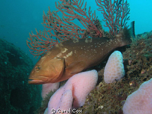 Red Grouper on artificial reef ball.  Taken in the Gulf o... by Carol Cox