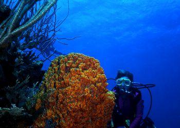Diver admires a brilliant orange barrel sponge.  I took t... by Robyn Lynn Churchill