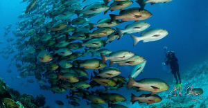Photographing the Boha Snapper at Shark Yoland Reef by Julian Cohen
