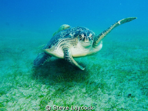 green turtle waves to me by Steve Laycock