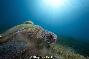 Green female turtle taken in Na'ama Bay. by Stephan Kerkhofs