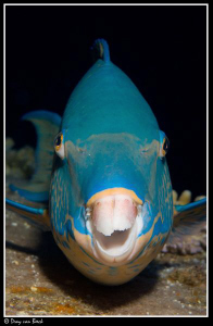 Parrotfish by Dray Van Beeck