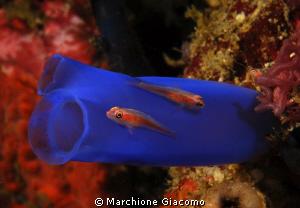Gobies and ascidia Nikon D200, 60micro, twin strobo Kom... by Marchione Giacomo