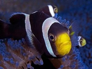 Anemonefish. Tulamben, Bali by Doug Anderson