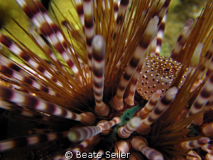 Sea Urgin , taken at Wakatobi with Canon S70 and UCL165 by Beate Seiler
