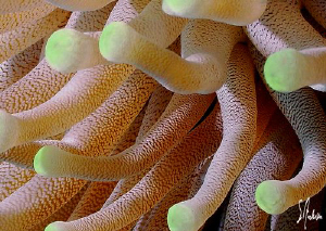 This image of a Giant Anemone was taken in Cozumel. by Steven Anderson