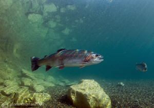 Rainbow trout. D3 15mm 1.4T/C. by Mark Thomas