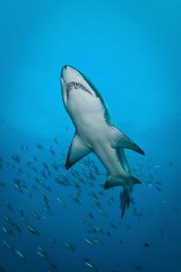 Grey Nurse Shark.  West Patch Rottnest Island.  Canon 20D... by Mick Tait