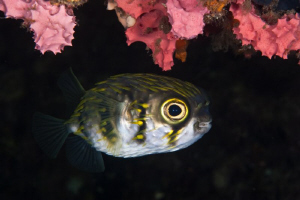 Western Australian Pufferfish.  The old Busselton Jetty. ... by Mick Tait