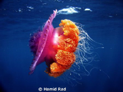 Big Jellyfish - Baatalamaaga Thila, Maldives. Canon G9 WA... by Hamid Rad